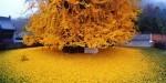 1400 Yıllık Çin'de Bulunan Ginkgo Ağacının Muhteşem Görüntüsü